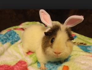hamster-buny